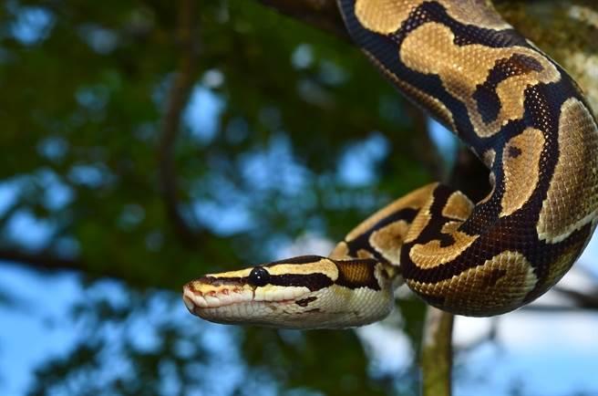 澳洲屋主听到后院有怪声,发现树干上缠绕一条巨蟒,不少网友看了全吓坏。(示意图/达志影像)