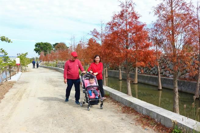 公館鄉中義社區也有落羽松祕境,遊客漫步落羽松旁驚呼「太美了!」。(巫靜婷攝)