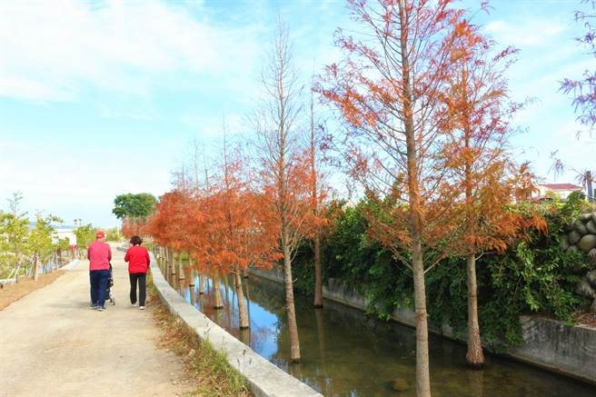 公館鄉中義社區也有落羽松祕境,歡迎民眾參觀。(巫靜婷攝)