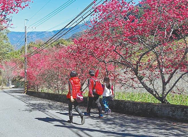 每年春季櫻花盛開期,許多民眾喜愛前往信義鄉草坪頭,欣賞滿山粉紅綻放的氣氛。(草坪頭觀光茶園提供/黃立杰南投傳真)