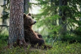 囚禁20年棕熊終於解脫 反常狂繞圈專家嘆:心籠難逃