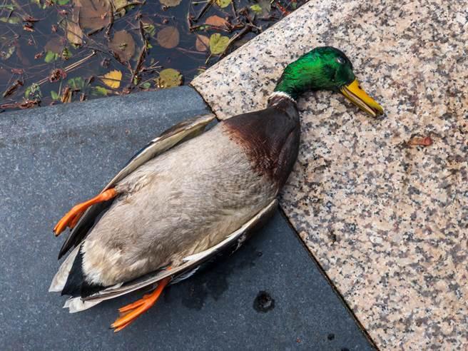 研究員巡視時發現,觀鳥高台上躺著一隻死綠頭鴨,不僅被斬首,就連內臟也遭掏空,調閱監視器驚見巨型猛禽,才恍然大悟。(示意圖/達志影像)