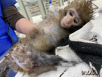 惡徒以斷腳幼猴慘叫聲誘捕成猴 動保團體無奈曝:無法可罰