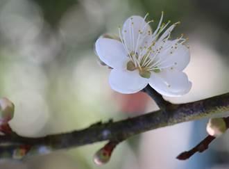梅嶺梅花一波波接力開 可賞到農曆春節