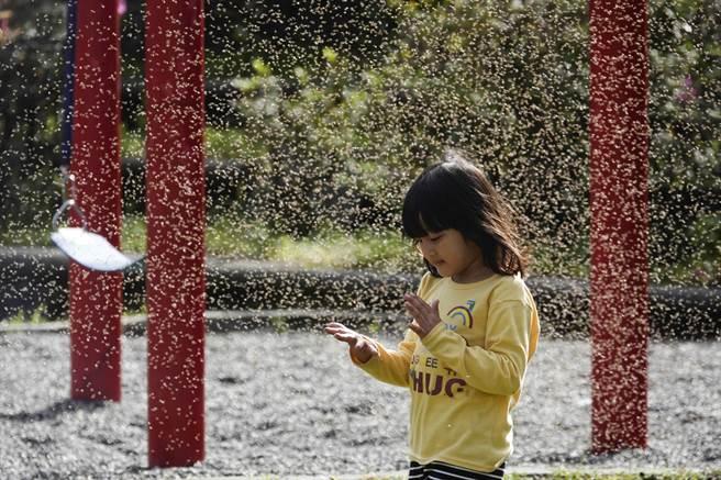 一鳴金洋村原住民小女孩好奇在搖蚊群中拍打搖蚊。