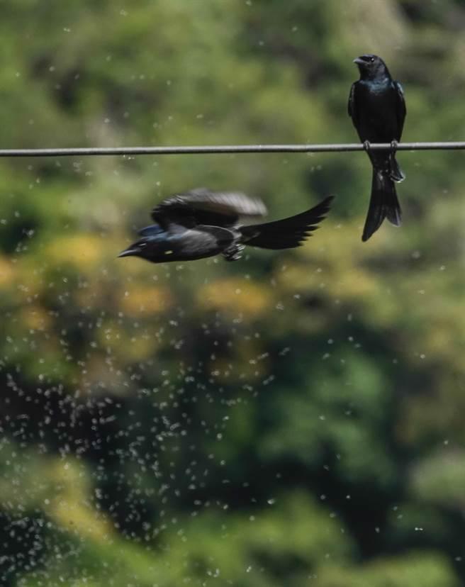 大卷尾在搖蚊群中穿梭捕食搖蚊。