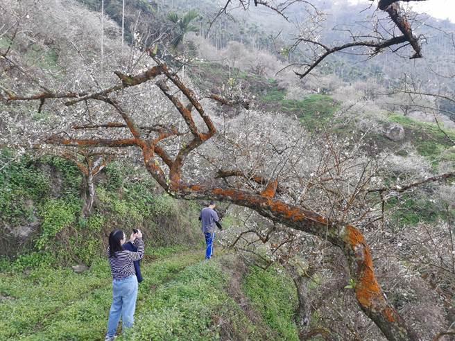 梅嶺梅花一波波接力開,估計到農曆春節都有花可賞。(劉秀芬攝)