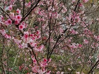 冷冬寒流頻來襲  台中低海拔今年櫻花盛開爭豔