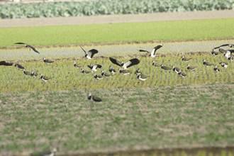 土豆鳥小辮鴴普查 雲林8000餘隻占全台約9成