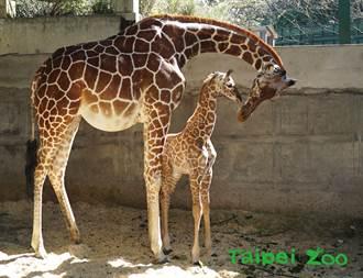 长颈鹿宝宝麦芽还没满月就破100公斤 出动4人扛上体重秤