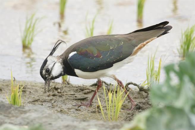 「土豆鳥」小辮鴴普查,雲林縣8000餘隻占全台約9成。(鳥友提供/張朝欣雲林傳真)