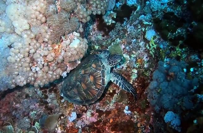 海龜在珊瑚礁縫間左右搖擺磨蹭搔癢,民眾覺得好療癒。(東管處提供/莊哲權台東傳真)