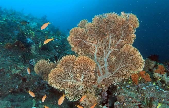 东管处在三仙台海域调查时,发现许多高逾1公尺的海扇,非常漂亮  。(东管处提供/庄哲权台东传真)
