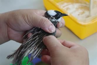 野鳥救傷大不易 存活率不到一半