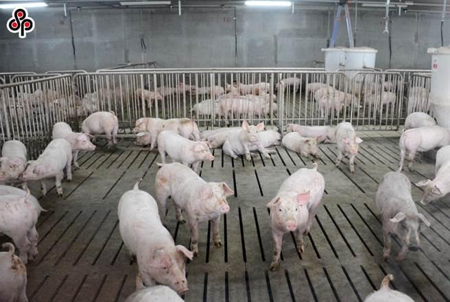 日前中華民國養豬協會行文農委會農糧署,建議可釋出公糧搗碎糙米減輕國內豬農飼料供給的壓力,然而農糧署回應,由於近期已標售搗碎糙米給大型飼料廠,然而國內自配戶高達6成以上,這些豬農的飼料供應將也成為問題。(本報系資料照)