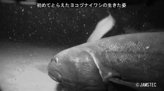 日本深海發現新種巨魚 超大身形專家驚:食物鏈王者