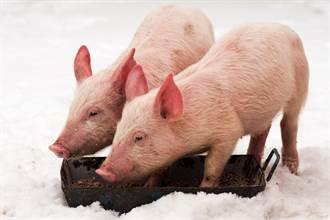 凍死豬被冰封倒趴長椅上民眾不捨 靠近一看驚覺被耍了
