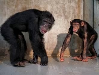 台北市立動物園黑猩猩「娃智」成功混群 樂當跟班明哲保身