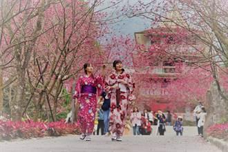 粉紅色的季節 1月底各景點櫻花季陸續綻放