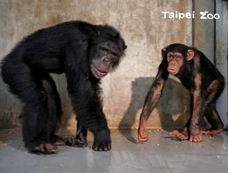 黑猩猩娃智混群轉大人 超皮偷捏老大屁股樂當小跟班