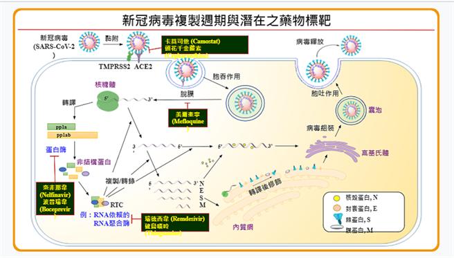 新冠病毒複製週期與潛在之藥物標靶。(圖/中央研究院提供)