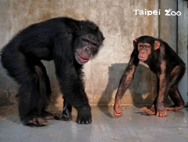 黑猩猩「娃智」混群成功,顺利被群体接受,甚至还乐当首领的小跟班。(图/台北市立动物园 提供)