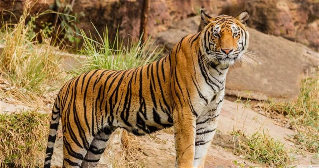 瑞典貓科動物首例!動物園老虎確診染疫 情況惡化執行安樂死(示意圖/取自Unsplash)