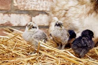 母鸡生下8颗蛋 孵化惊现怪喙主人傻了:认错宝宝