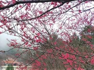 櫻花飄落協雲宮 綠葉點綴山櫻遍地開 遊客直呼好美