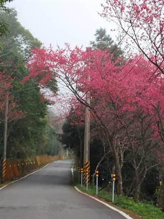 南庄向天湖櫻花盛開 上山賞櫻正是時候