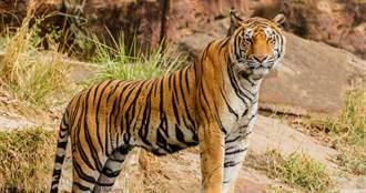 瑞典貓科動物首例!動物園老虎確診染疫 情況惡化執行安樂死