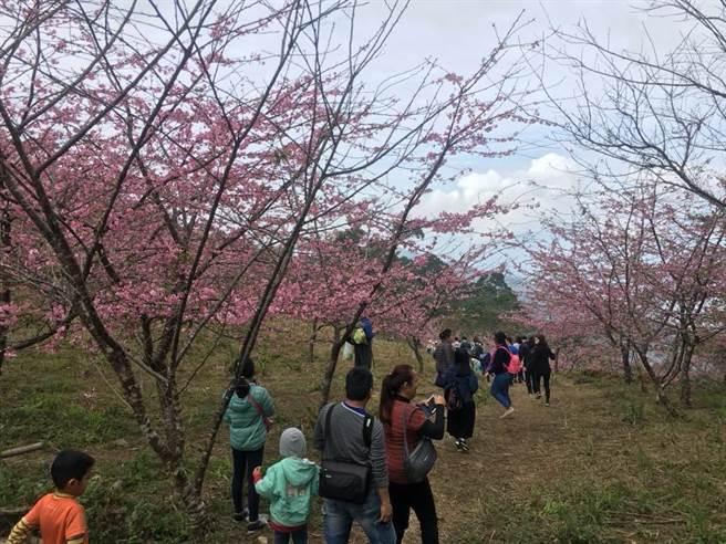 高雄市桃源區寶山櫻花公園河津櫻盛開約8成,讓山林呈現一片粉紅色系,吸引大批遊客上山賞櫻花。(林雅惠攝)
