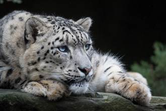 凶狠雪豹吃飽見飼養員欲離開 下秒變大貓反差萌撒嬌