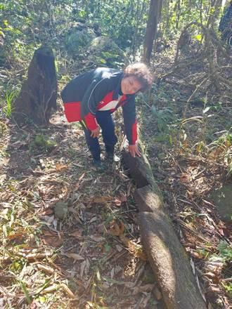 苗栗加里山筆筒樹及牛樟遭盜鋸 林務局籲民眾愛護山林