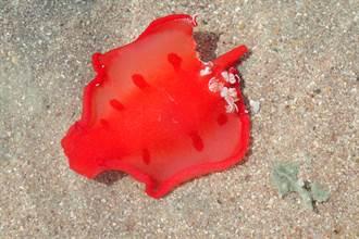 巨大鮮紅色神秘海洋生物游上岸 超美畫面震撼數千人