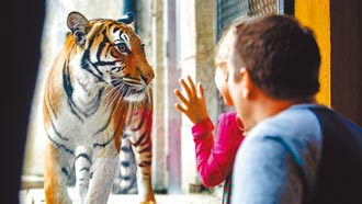 瑞典動物園獅虎染疫 1頭安樂死