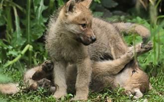 收编流浪幼犬惊觉牠独爱吃生肉 4个月暴风式长大变猛兽