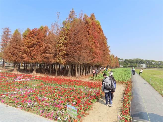 台南市六甲區林鳳營牧場旁的落羽松近年成了熱門景點,區公所也舉辦落羽松季活動行銷,並在周邊種起波斯菊等植物,盛開時配上變色的落羽松,別有一番風情。(莊曜聰攝)