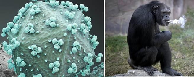 電子顯微鏡下的愛滋病毒,與黑猩猩。(圖/美聯社、shutterstock)
