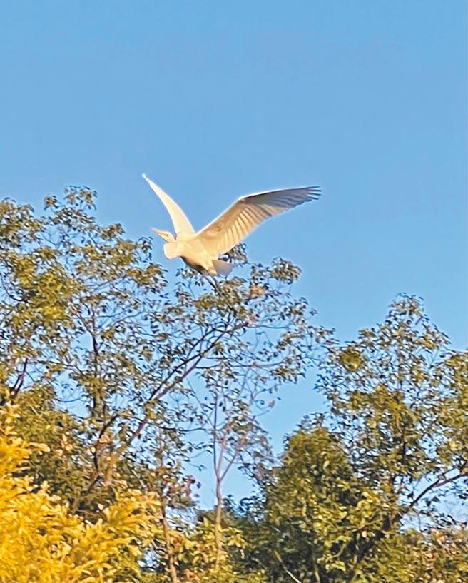 白鷺迎春報喜,林青霞內心企盼疫情趕快離去。(林青霞提供)