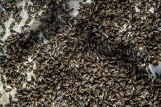 悚!數千蜜蜂突爬滿手臂 淡定男靠一神招毫髮無傷
