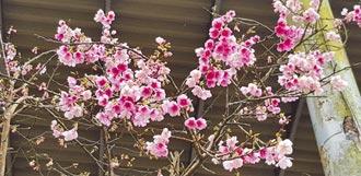 云仙乐园春樱开 到乌来趴趴走