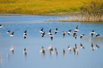 水位過高 鰲鼓溼地抽水護候鳥