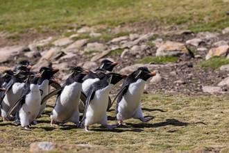 2隊企鵝興奮相遇 1隻跟錯隊 同伴急追:還不快回來!