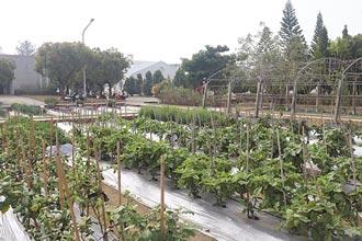 極端氣候當前 原生蔬菜成救星