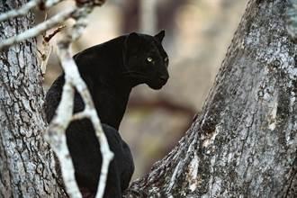 稀有黑豹現蹤霸氣捕獵結果糗翻 憂鬱坐路邊網笑:懷疑人生