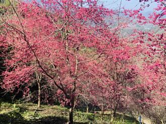 櫻花季展開 信義鄉望高寮祕境花景美呆了