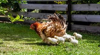 為母則強!烏鴉偷襲小雞被母雞抓包 身手驚呆百萬網友