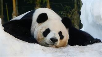 猫熊「遇雪则发」大字形躺地滚雪 萌翻网友:里面是人吧