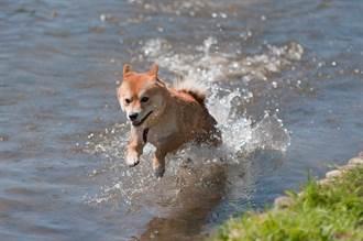 還沒碰到水就先划 柴柴短腿前後狂擺 空中狗爬式笑翻百萬人